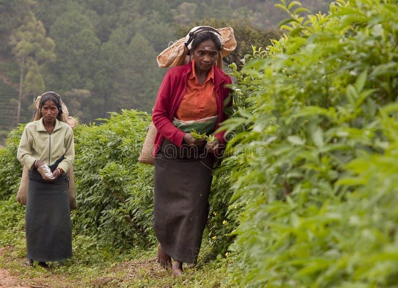 Sri lanka woman 3 royalty free stock image