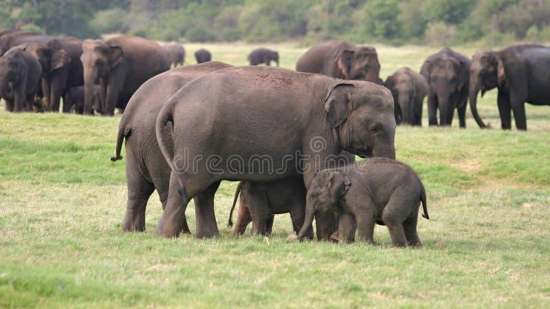 Sri Lankan Elephant royalty free stock photo