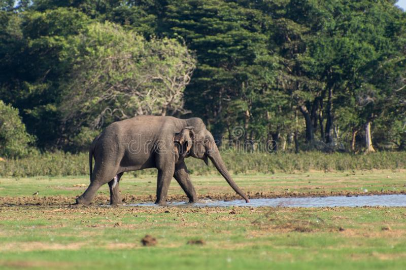Sri Lankan elephant in Wild royalty free stock images