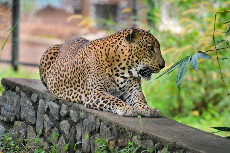 Sri Lankan Endemic Leopard. At Pinnawala Open Air Zoo. The Population Of Sri Lankan Leopard Is Believed To Be Declining Due To Numerous Threats And No stock images