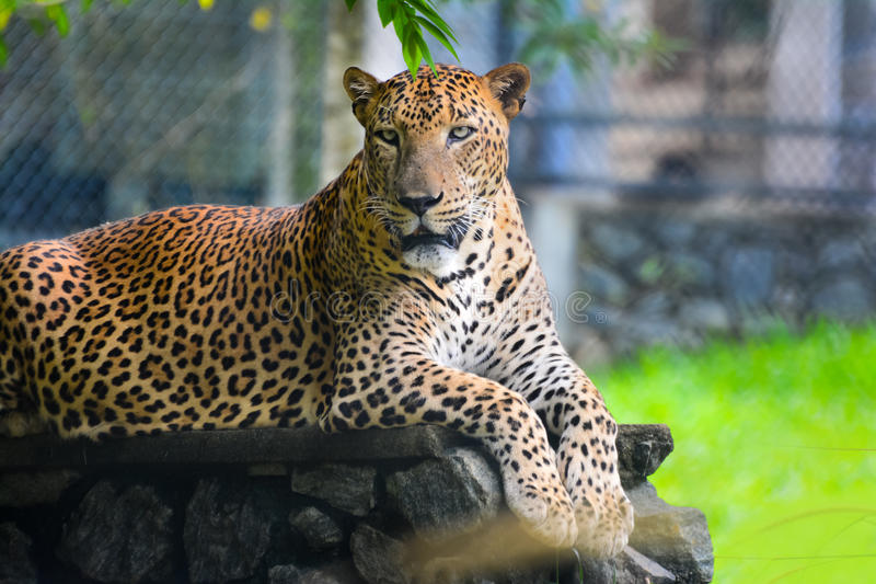 Sri Lankan Endemic Leopard. At Pinnawala Open Air Zoo. The Population Of Sri Lankan Leopard Is Believed To Be Declining Due To Numerous Threats And No royalty free stock photography