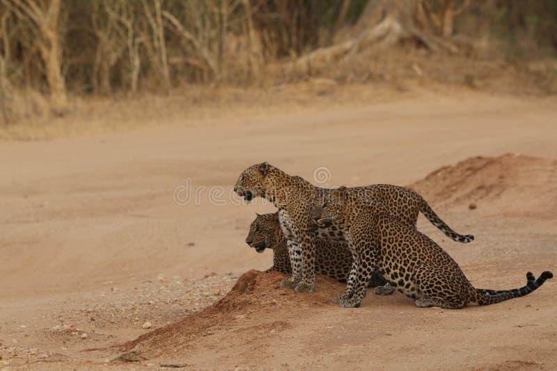 Sri Lankan Endemic Leopard royaltyfria bilder