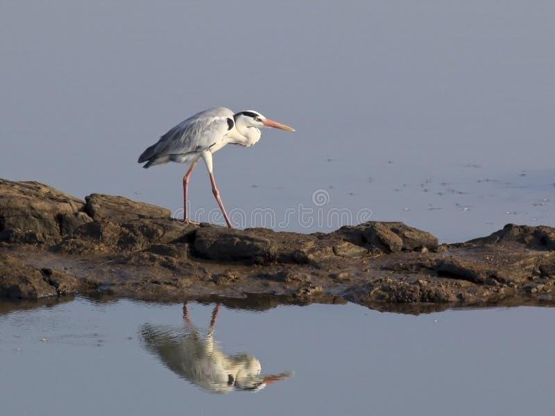 Sri Lankan Gray Heron Stock Photos