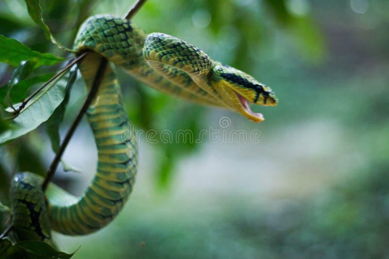 Sri Lankan Groen Pit Viper stock afbeelding
