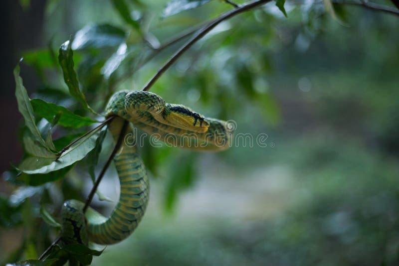 Sri Lankan Groen Pit Viper royalty-vrije stock afbeeldingen