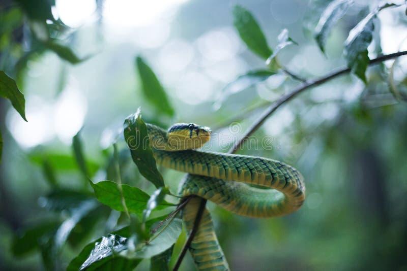 Sri Lankan Groen Pit Viper stock afbeeldingen