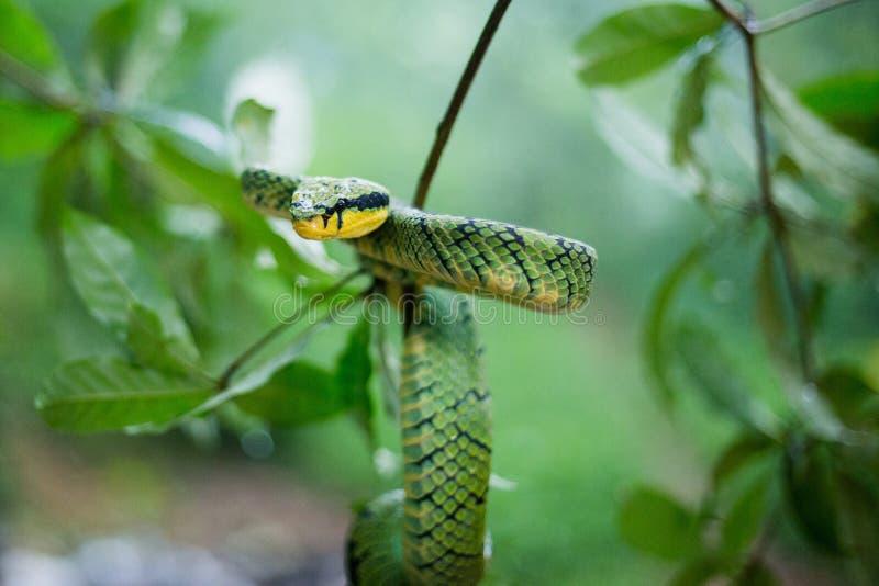 Sri Lankan Groen Pit Viper royalty-vrije stock afbeelding