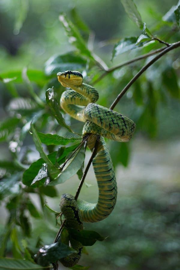 Sri Lankan Groen Pit Viper royalty-vrije stock fotografie