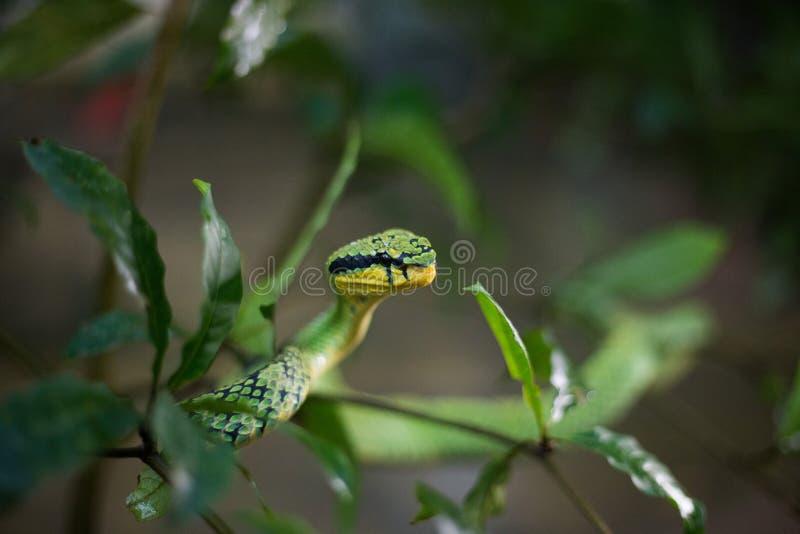Sri Lankan Groen Pit Viper royalty-vrije stock foto's
