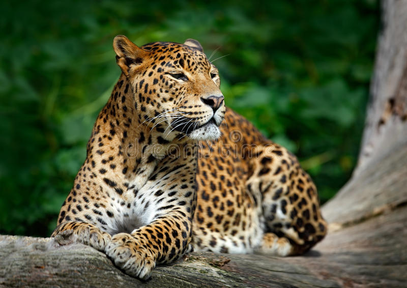 Sri Lankan leopard, Panthera pardus kotiya, Big spotted cat lying on the tree in the nature habitat, Yala national park, Sri Lanka. Asia stock image