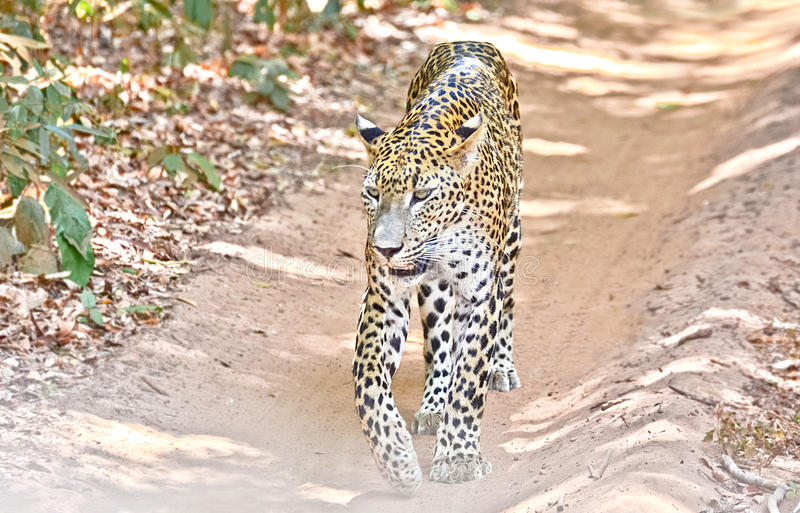 Sri Lankan Leopard - Panthera Pardus Kotiya At Wilpattu National Park. The Sri Lankan leopard is a leopard subspecies native to Sri Lanka. Classified as royalty free stock photo