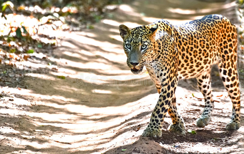 Sri Lankan Leopard - Panthera Pardus Kotiya At Wilpattu National Park. The Sri Lankan leopard is a leopard subspecies native to Sri Lanka. Classified as stock photo