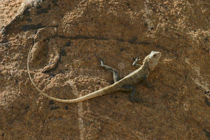 Sri Lankan Lizard stock photos