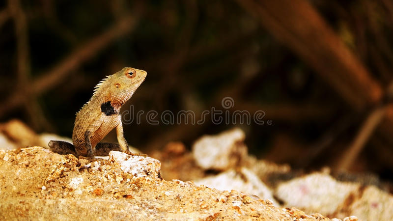 Sri Lankan lizard. Profile of Sri Lankan lizard on rocky ground royalty free stock image