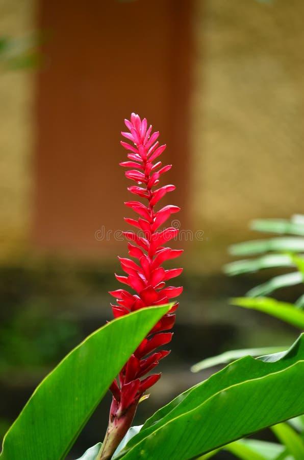 Sri Lankan Nature - Araththa Flower. Sri lankan beautiful nature - Araththa Flower of Rathnapura area stock photos
