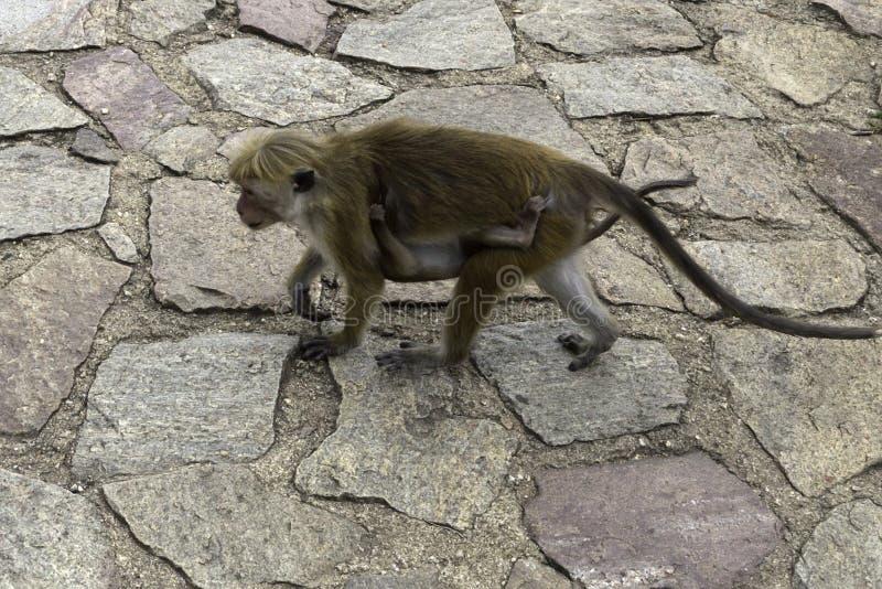 Sri-Lankan toque macaque (Macaca sinica) stock images