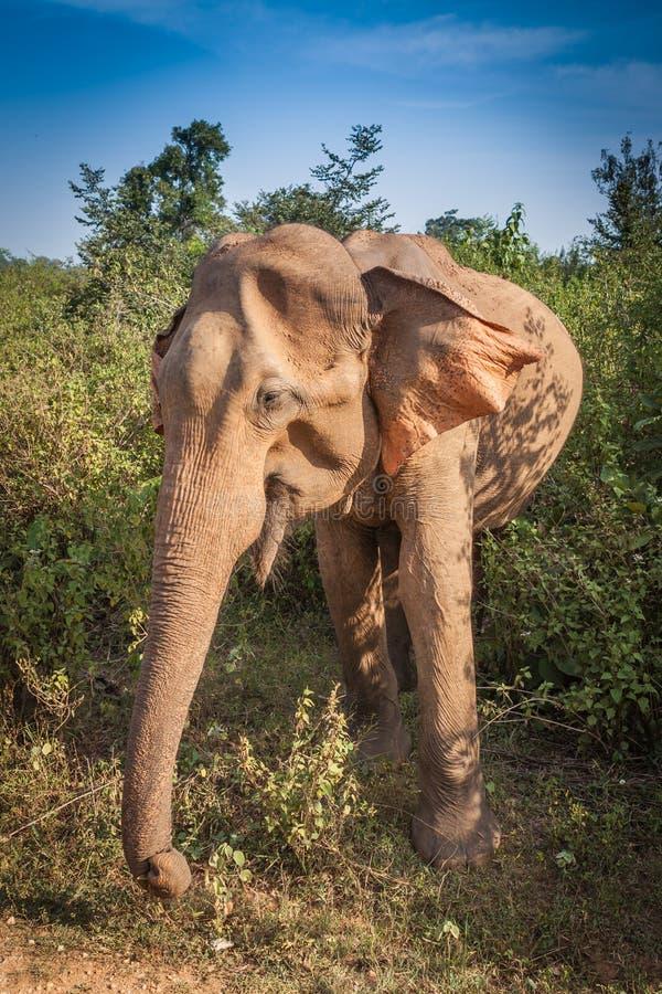Sri Lankan wild elephant in safari national park stock photo