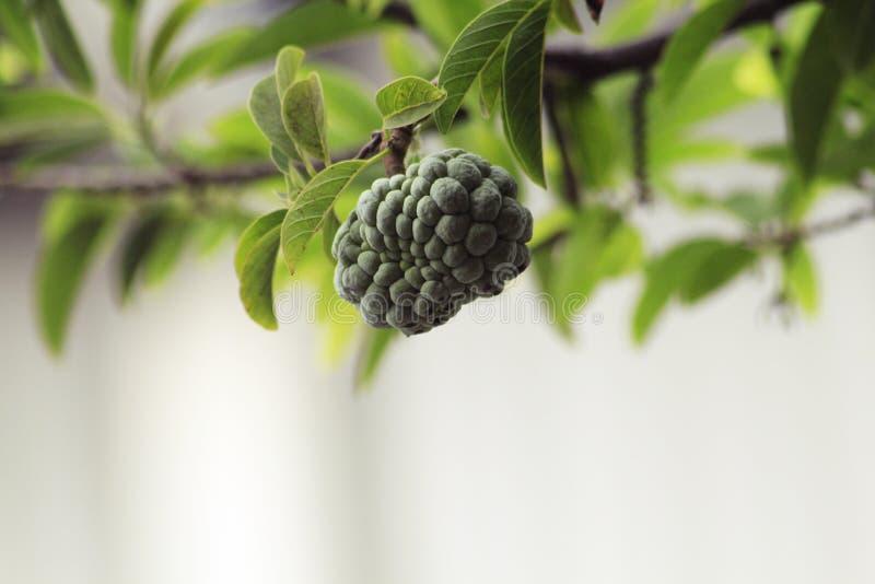 Srikaya owoc HD Bokeh zdjęcia royalty free