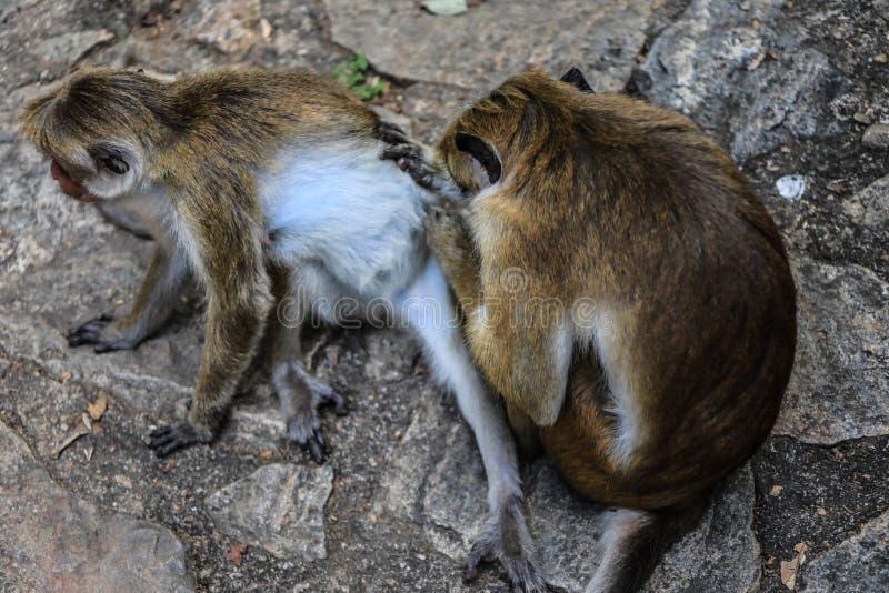 Srilanka Dambulla Rajamaha Viharaya Monkey scratching stock photo