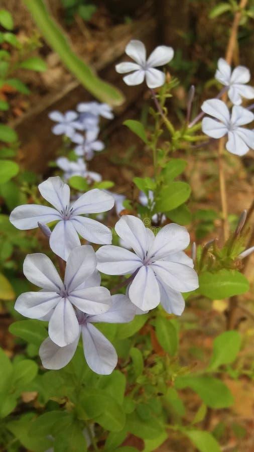 Srilankan aardige bloem van ` s het ` s die naam kalmeren is ratakohoba royalty-vrije stock afbeelding