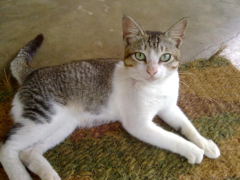 The Srilankan Beautiful Cat. This is the most beautiful picture of this cat. It is two colours. There are grey and white royalty free stock photography
