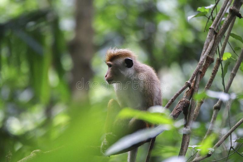 SriLankan beautifull monk... smile Monkey. They live in the jungles .They eat fruit. Flocks live.These give birth to little cubs royalty free stock image