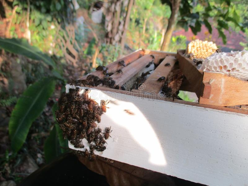 Srilankan bees they are very active. Bees are very important for planting plants and flowers,we should protect bees royalty free stock photo
