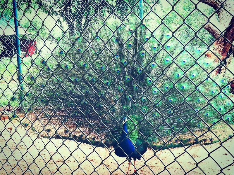 Srilankan peacock stock photo