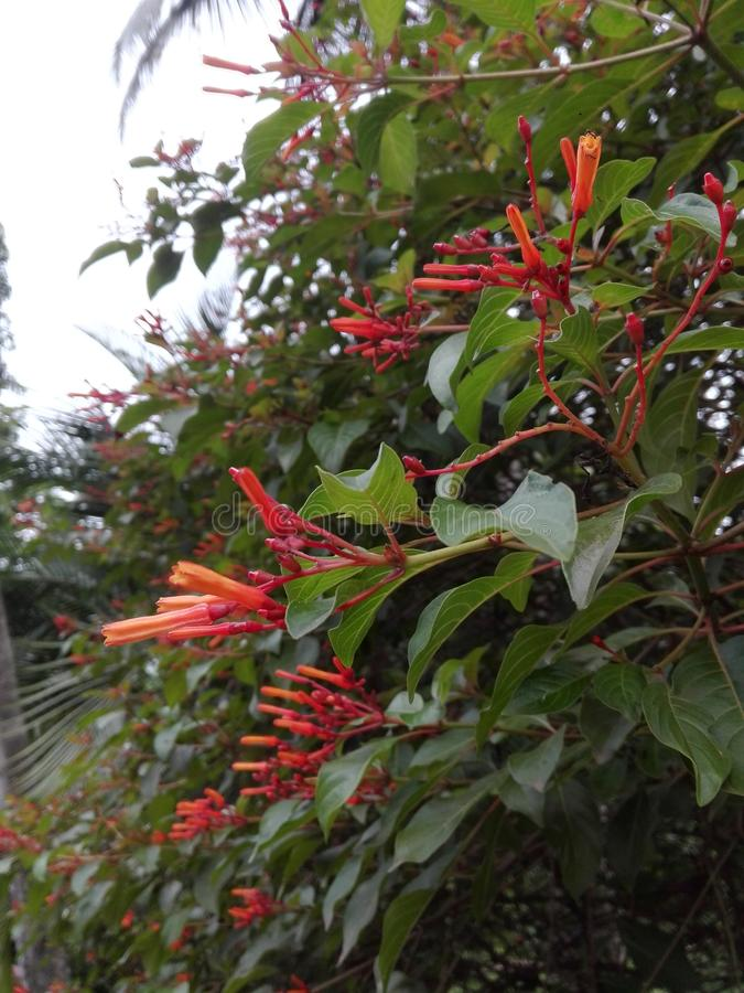 Srilankan while red flower bloom at midnight. This flower is bloom at midnight and small, bloom every where on the tree stock photography