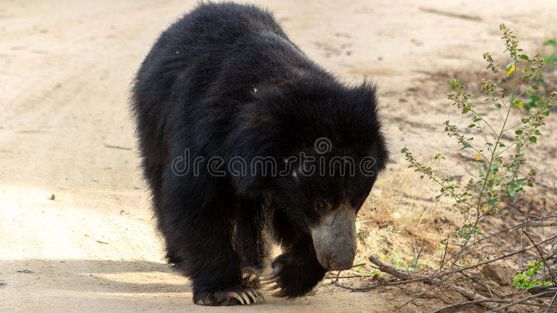 Srilankan sloth bear!. Yala national park srilanka , is one of the places, that you can see a sloth bear! I was lucky to capture this amazing moment royalty free stock photo