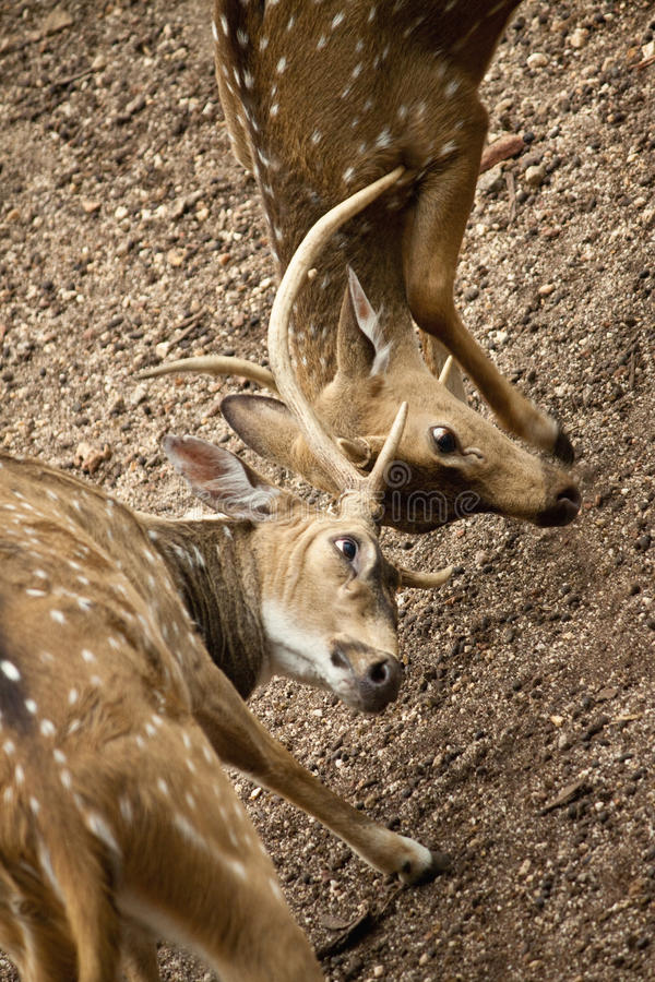 Srilankan spotted deer closeup. Photo of a srilankan spotted deer or Sri Lankan Axis Deer in a zoo,fighting with another deer using horns royalty free stock image