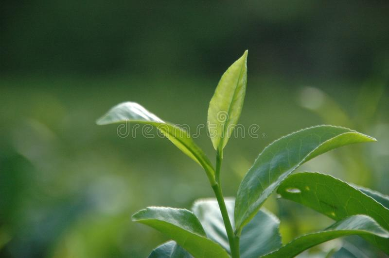 Srilankan Tea estaste royalty free stock images