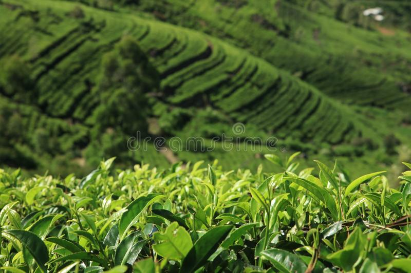 Srilankan Tea estaste. This is taken in Badulla district in Srilanka.green tea cultivation.it is cultivated in a valley surrounded by mountains.there are rural stock image