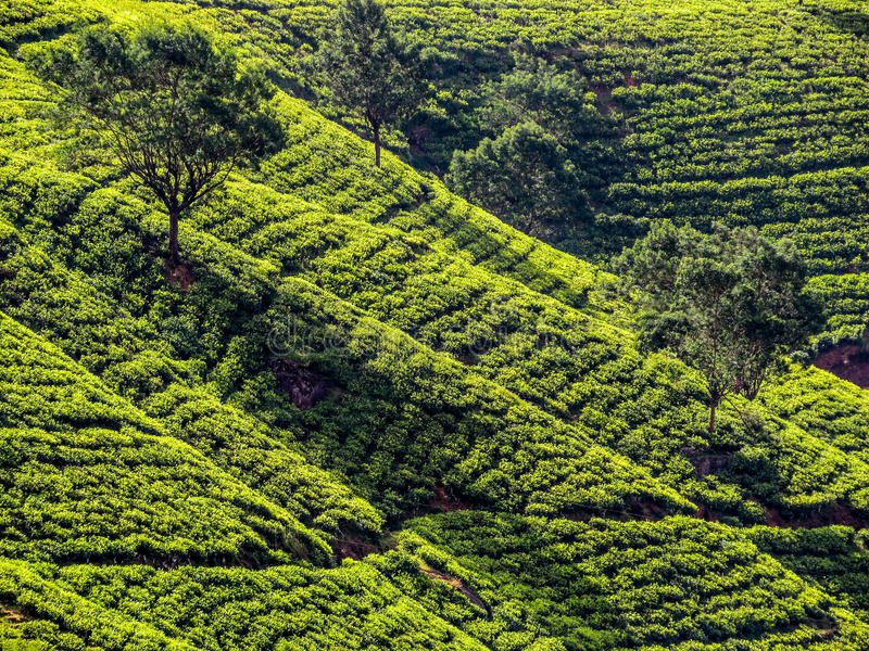Srilankan Tea. Panorama of green hills with tea plantations in Nuwara Eliya, Sri Lanka royalty free stock photos