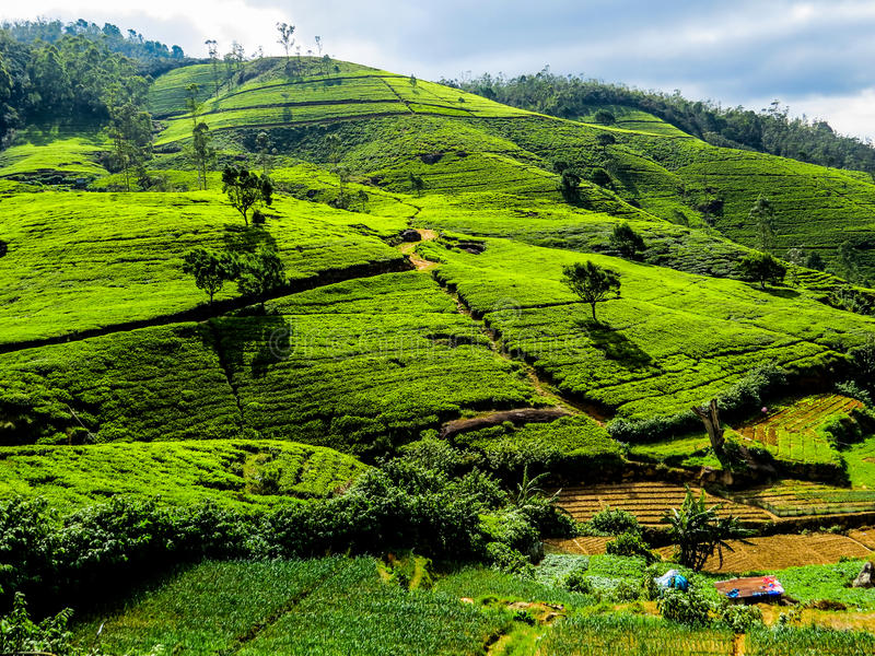 Srilankan Tea. Panorama of green hills with tea plantations in Nuwara Eliya, Sri Lanka stock images