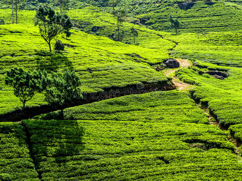 Srilankan Tea. Panorama of green hills with tea plantations in Nuwara Eliya, Sri Lanka royalty free stock image