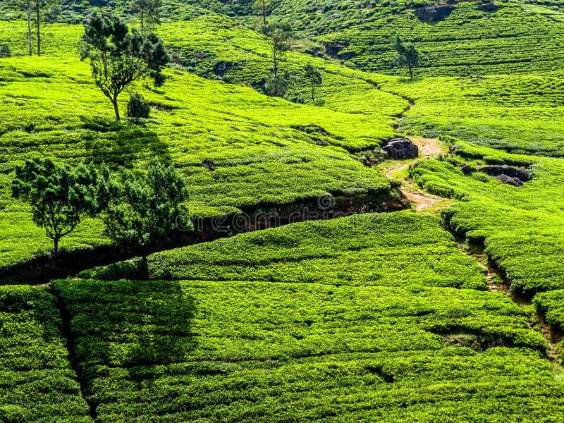 Srilankan Tea. Panorama of green hills with tea plantations in Nuwara Eliya, Sri Lanka royalty free stock image