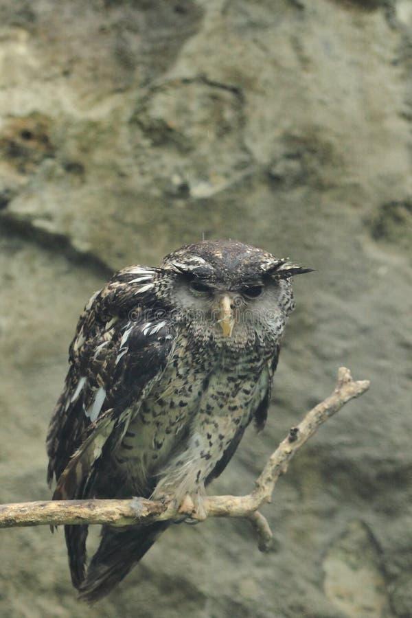 Srilankesisk fläck-buktad Eagle-uggla royaltyfria bilder