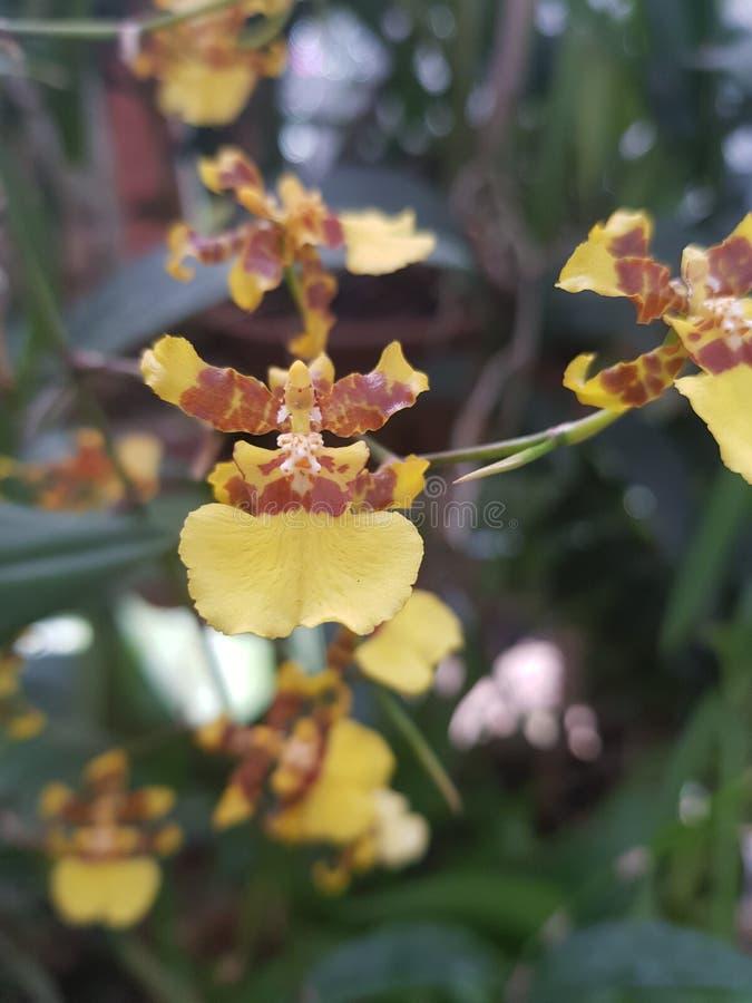 Srilankesisk gul orkidé arkivfoto