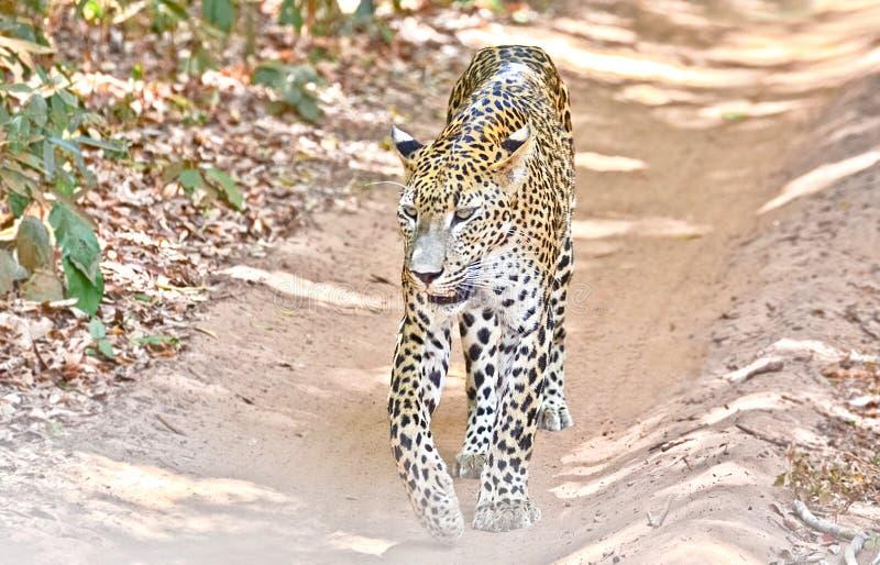 Srilankesisk leopard - pantheraen Pardus Kotiya At Wilpattu National parkerar royaltyfri foto