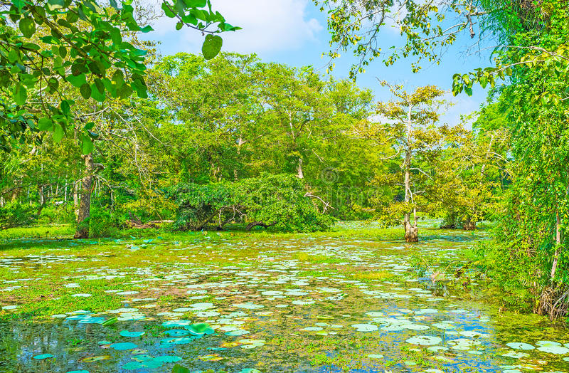 Srilankesisk träskskog royaltyfria bilder