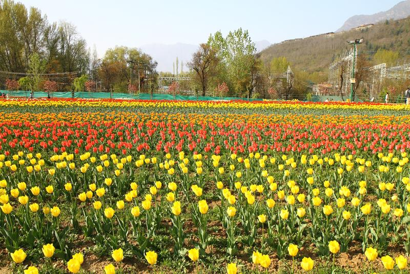 SRINAGAR INDIEN April 2017: Härliga färgrika tulpan i Tulip Festival fotografering för bildbyråer
