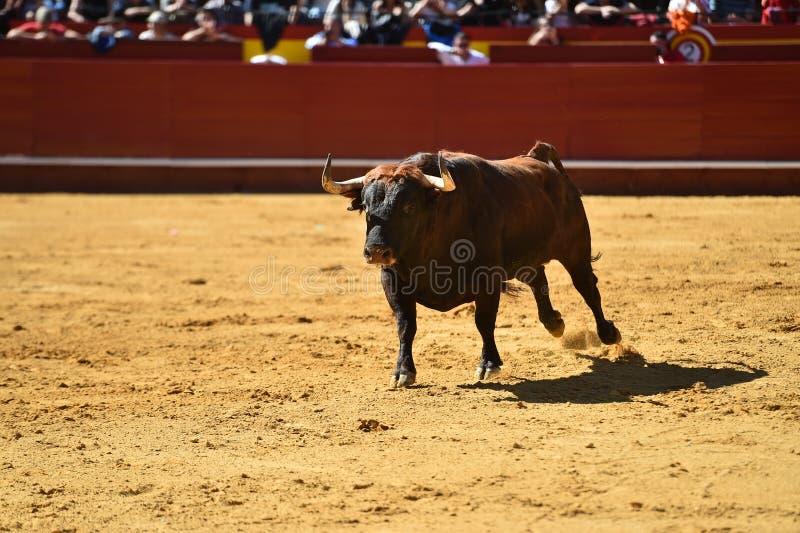 Srogi byk w bullring z dużymi rogami fotografia stock