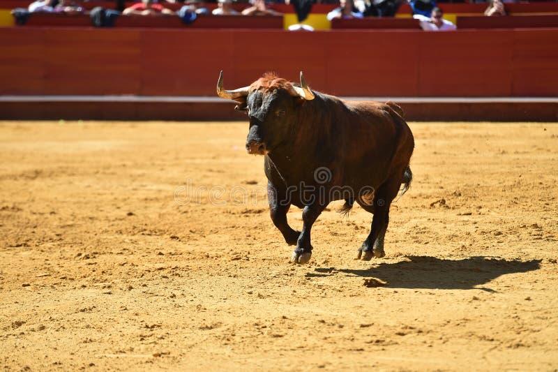 Srogi byk w bullring z dużymi rogami obraz royalty free