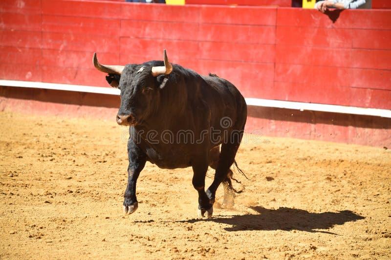 Srogi byk w bullring z dużymi rogami fotografia royalty free