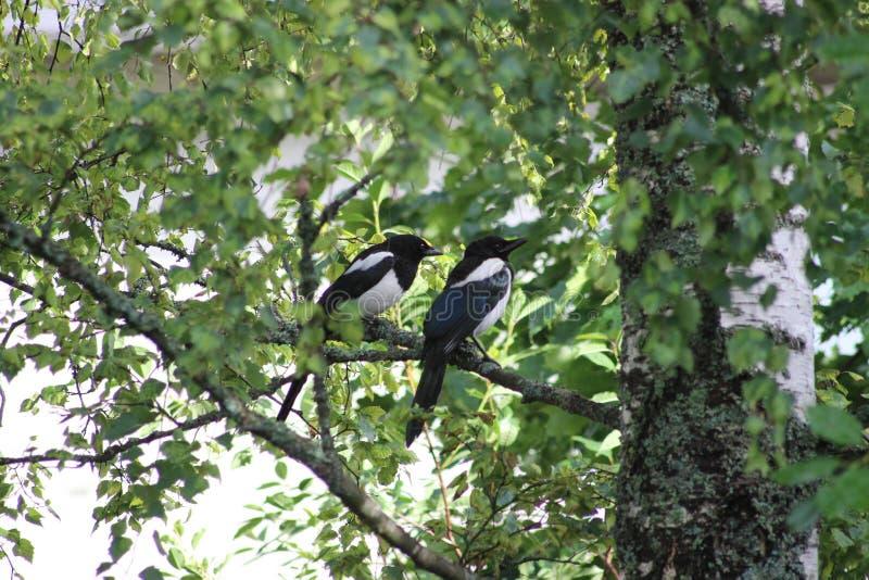 Sroki na drzewie fotografia royalty free