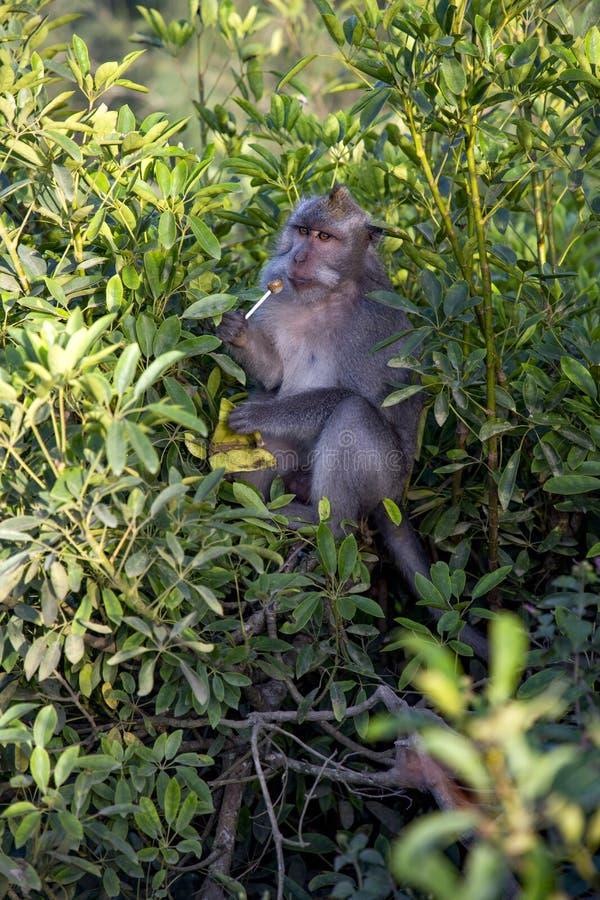 Ssać małpy obrazy stock