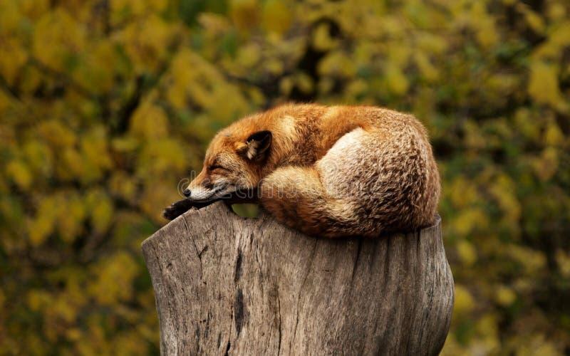 Ssak, fauna, przyroda, dysza zdjęcie stock