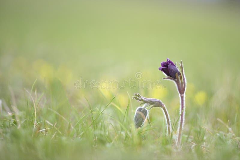 Ssp pratensis Pulsatilla, nigricans - небольшой цветок pasque, редкие вымирающие виды стоковые изображения