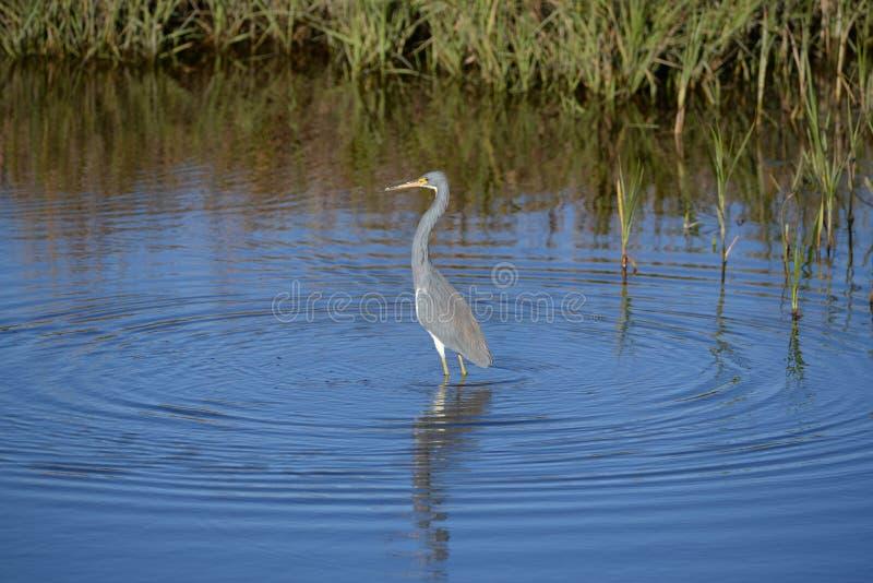Sstrikes da garça-real de Tricolored uma pose ao pescar no pântano da ilha foto de stock royalty free